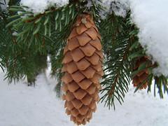 christmas tree(0.0), twig(0.0), branch(1.0), leaf(1.0), tree(1.0), christmas decoration(1.0), conifer cone(1.0), fir(1.0), spruce(1.0),