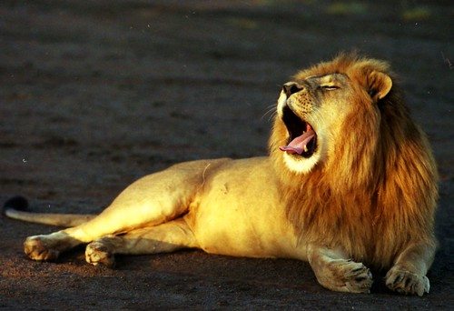 Lazy Yawning Male Lion
