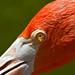 Mirada de flamingo