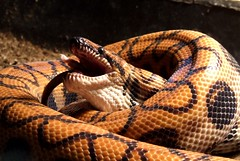 boas, animal, serpent, snake, reptile, fauna, viper, scaled reptile, kingsnake,