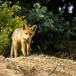 Red Fox cub - Estremadura Spain_3183-42