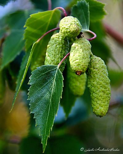 Birch Seedpods