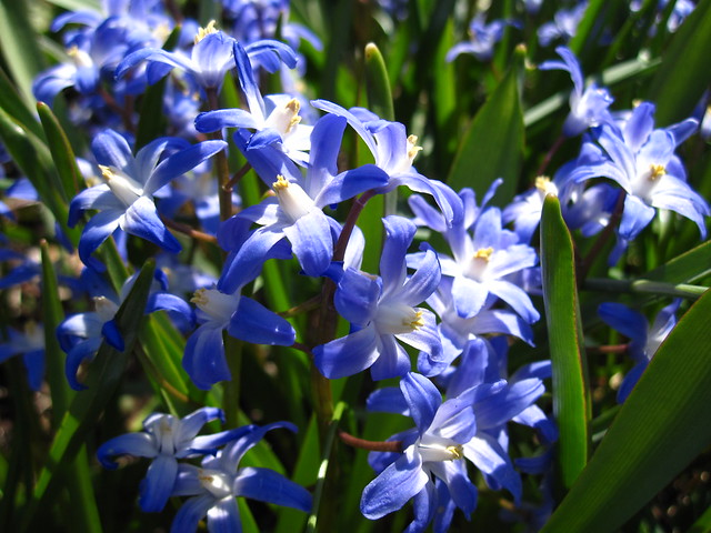 Chionodoxa sp blooms in the Fragrance Garden. Photo by Rebecca Bullene.