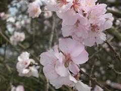 blossom, flower, branch, produce, cherry blossom, spring, pink, petal,