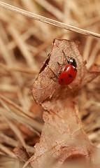 Lady bug climbing a dead leaf