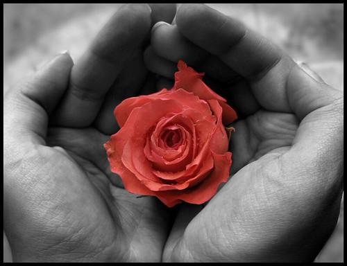 Rose in my hands