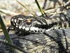 "<a href=""http://www.flickr.com/photos/billyboysfotocolection/4544829785/"">Photo of Vipera berus by Billy Lindblom</a>"