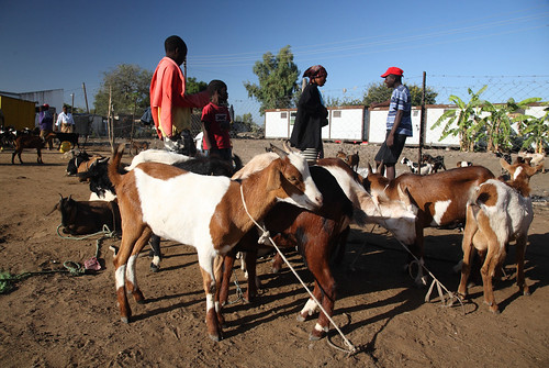 Livestock sellers in Mozambique