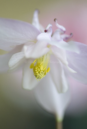 Aquilegia Breeze