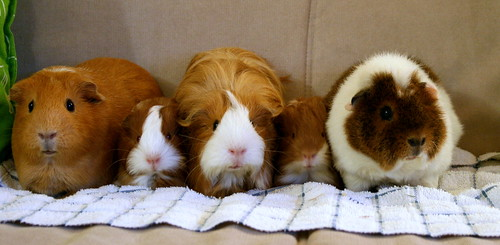 3 adult guinea pigs with 2 baby guinea pigs