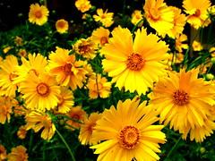 annual plant, calendula, flower, yellow, macro photography, herb, wildflower, flora, meadow, chrysanths, petal,