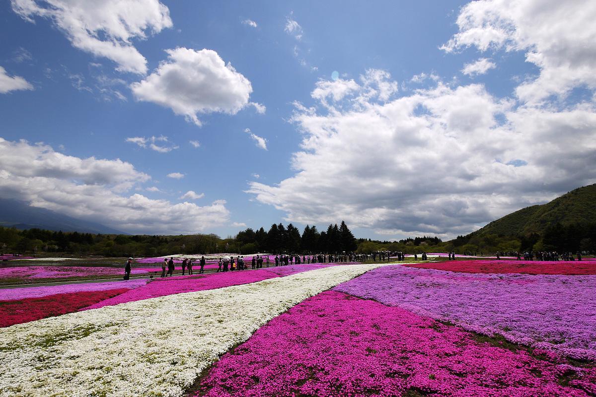 富士芝桜まつり Fuji Shibazakura Festival