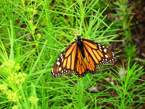 Monarchy, female Monarch butterfly