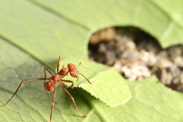 The leaf cutter ant a tiny insect in a big world
