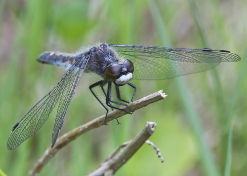 insect dragonfly nj bearswamp kh0831