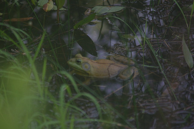 Frog at edge of pond