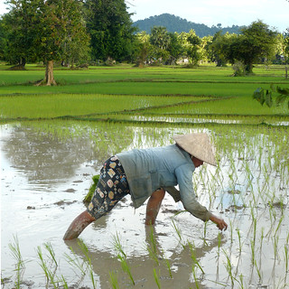 Lao woman working in the wet-rice fields