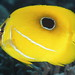 Eclipse Butterflyfish - Photo (c) Klaus Stiefel, some rights reserved (CC BY-NC)