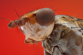 Salticella fasciata (focus stack of a dead fly)
