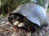 """<a href=""""http://www.flickr.com/photos/taurielloanimaliorchidee/5124092144/"""">Photo of Testudo marginata by Matteo Paolo Tauriello</a>"""