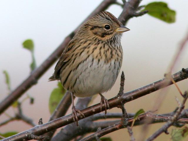 Lincolns Sparrow 5-20101029