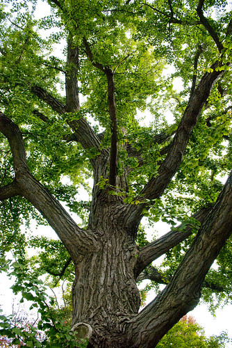 explore  u201cginkgo  the tree that time forgot u201d with dr  peter crane  u0026gt  missouri botanical garden