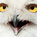 snowy owl close-up by iPhotograph
