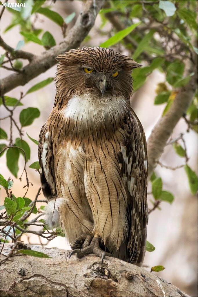 Brwon Fish owl