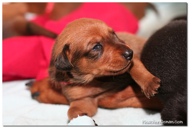 Fire Dreams German Pinscher