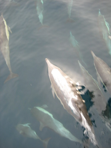 Pod of dolphins race along the boat