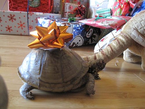 Holly the Christmas turtle, with bow