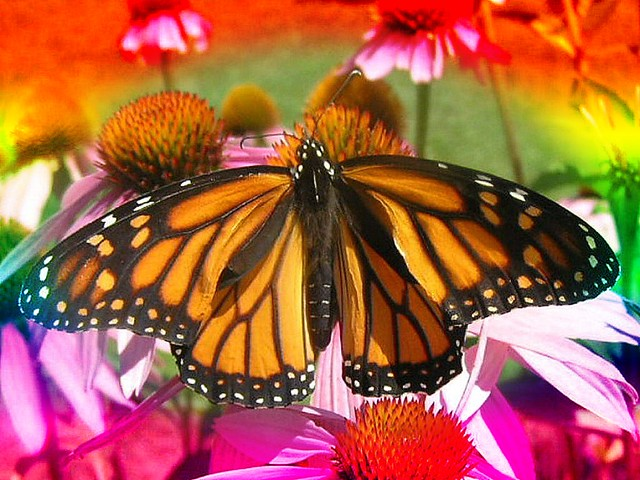 Female Monarch Butterfly Blemded Rainbow Vignette | Flickr - Photo ...