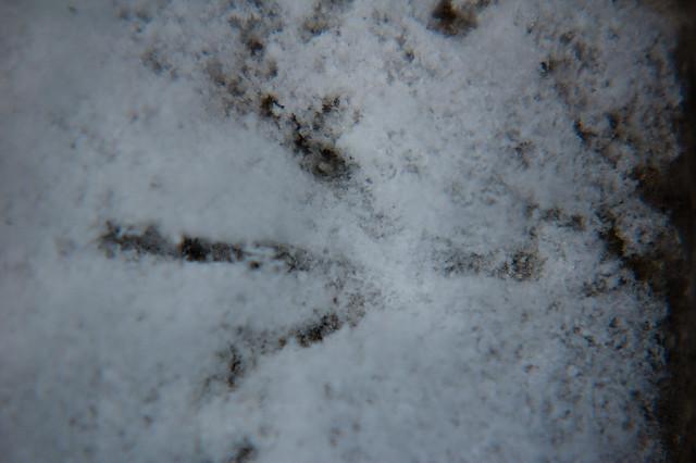 Wood pigeon footprint