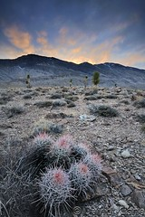 Cottontop Cactus, Death Valley, National Park