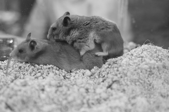 High Protein Foods For Pregnant Hamsters