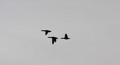 animal migration, animal, wing, flock, bird migration, crane, bird, flight,