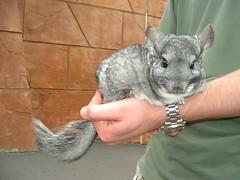 squirrel(0.0), degu(0.0), animal(1.0), rodent(1.0), pet(1.0), chinchilla(1.0),