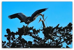 Great Blue Heron of Stow Lake