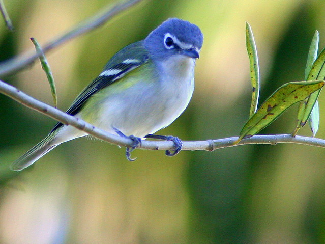 Blue Headed Vireo 3-20100221