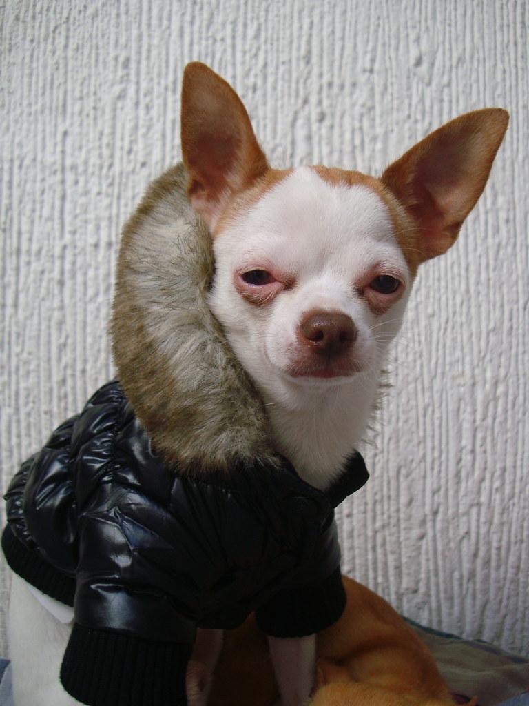 Benito Chihuahua