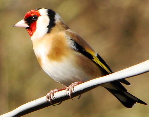 Goldfinch,(Carduelis carduelis)