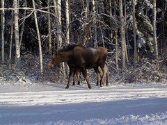 deer(0.0), white-tailed deer(0.0), elk(0.0), winter(1.0), snow(1.0), moose(1.0), fauna(1.0), wildlife(1.0),