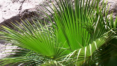 flower(0.0), grass(0.0), plant stem(0.0), arecales(1.0), leaf(1.0), tree(1.0), plant(1.0), flora(1.0), saw palmetto(1.0),