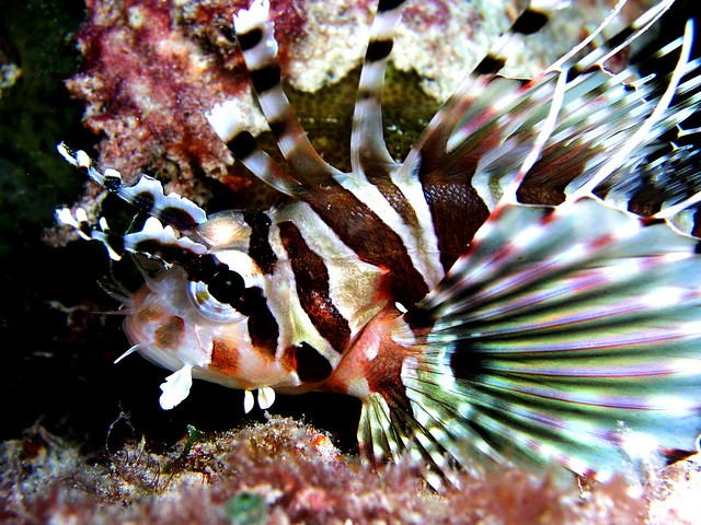 Zebra Lionfish | Flick...