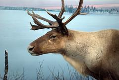 animal, deer, horn, fauna, elk, wildlife, reindeer,