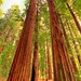 Vertical Redwoods in Corner Light