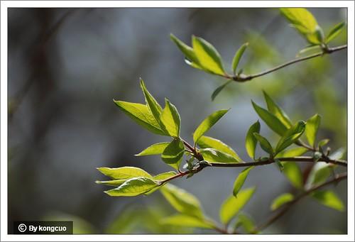 【图】金银木