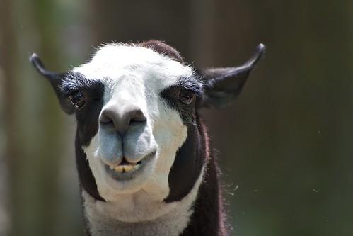 cute sc animal geotagged zoo myrtlebeach furry nikon soft fuzzy farm southcarolina cuddly myr d700 waccatee geo:lat=33671854 geo:lon=79053401