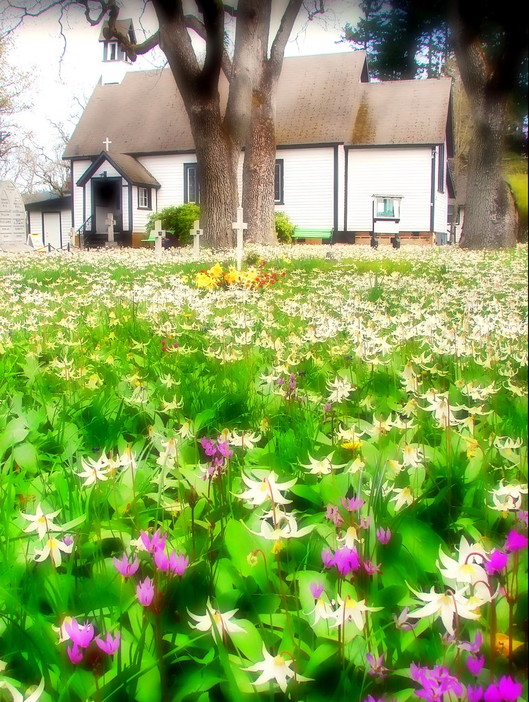 St. Mary the Virgin Anglican Church with springtime array of fawn lilies .. , Metchosin, British Columbia, Canada