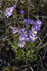 Mistassini Primrose - Photo (c) Cody Hough, some rights reserved (CC BY-NC-SA)